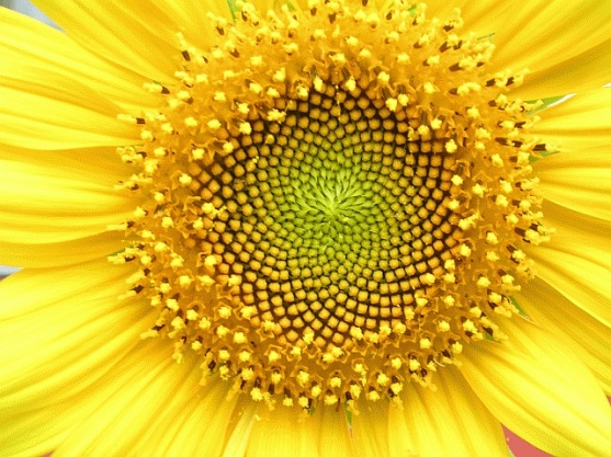 Flower with spirals in Fibonacci sequence Helianthus flower, Bannerghatta Bangalore by L. Shyamal / CC-BY-2.5